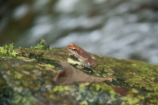 Micrixalus kottigeharensis, one of the species of dancing frog.